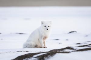 Arctic Fox, Point Barrow, Alaska