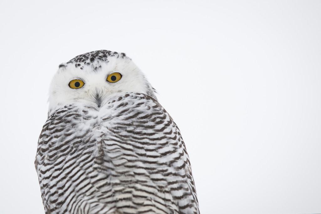 Snowy Owl, Point Barrow, Alaska